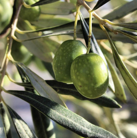 What is EVOO image of olive tree