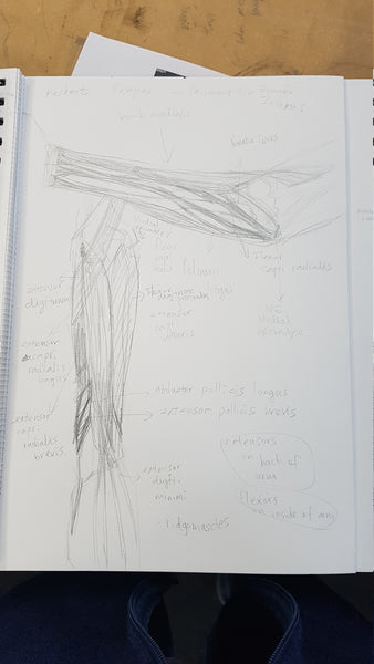 Anatomy lower arm in class ecroche