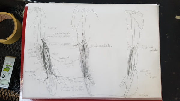 lower arm muscles Anatomy class homework