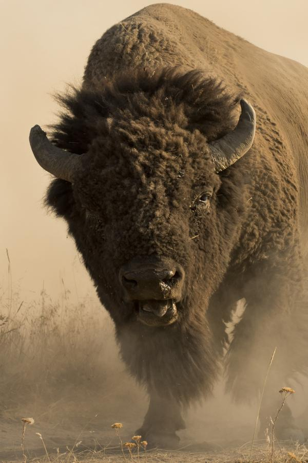 "Somerset ""American Buffalo"" By Robert Dawson Reprint-Somerset House Publishing-Sleeping Giant"