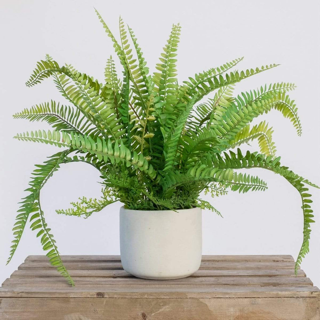 Fern Bush in Cement Pot 50cm