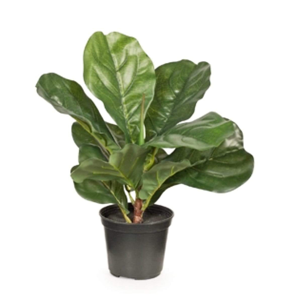 Fiddle Leaf Fig in Pot 30cm