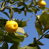 Lemon tree in the Gardens Through Time at the Museum of the Home