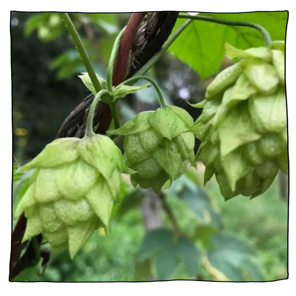 Hop Harvest 2018 - Launch