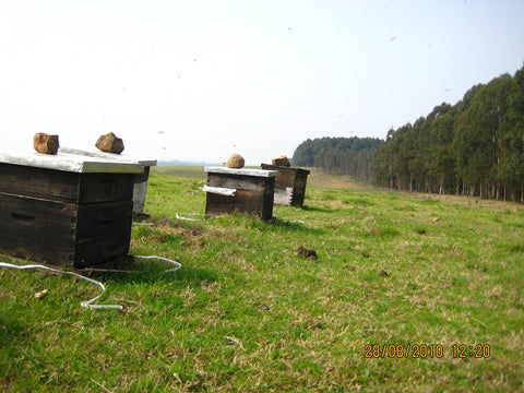 Bee hives of our Raw Organic Rivera Gum Honey, Rivera, Uruguay