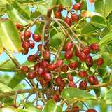 Red Gumbo Limbo tree fruit, origin of Latin Honey Shop Raw Organic Red Gumbo Limbo Honey from Mexico