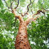 Red Gumbo Limbo tree, origin of Latin Honey Shop Raw Organic Red Gumbo Limbo Honey from Mexico