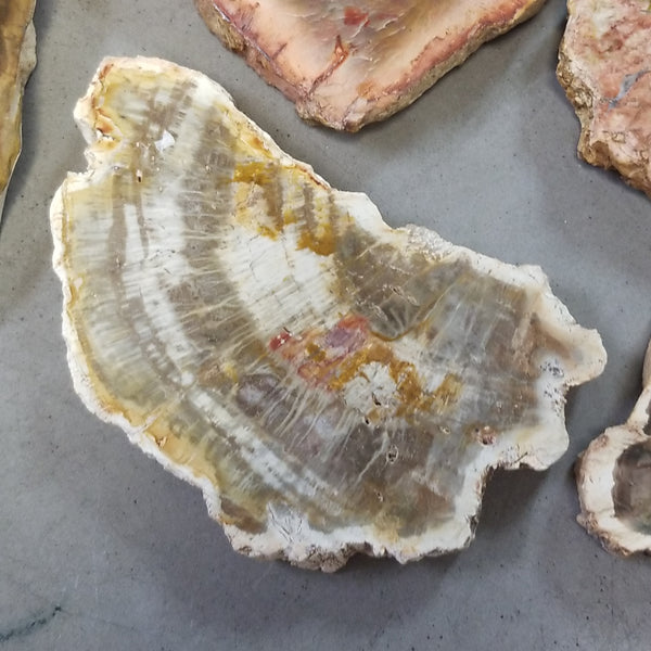Petrified wood slices