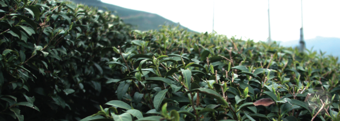 What is First Flush Tea?