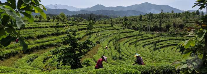 Types of Green Tea: The Importance of Harvest Date