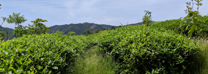 How Tea Grows: Anatomy of a Tea Plant