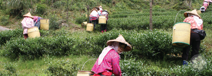 tea pickers on traditional farms
