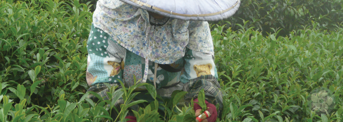 naturally grown tea is hand picked at high elevations