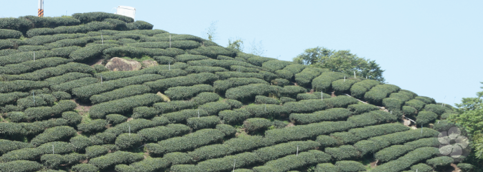 mountainside gardens at high elevations produce the creamiest teas