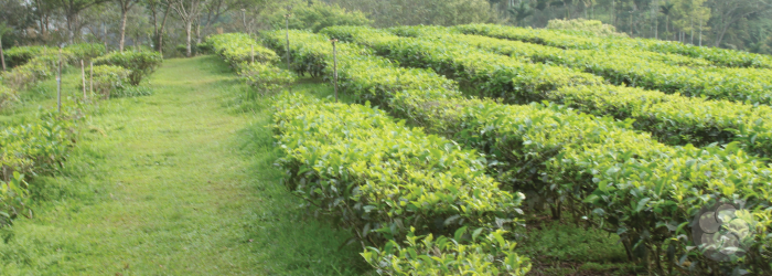 Assam tea bushes grow in neat rows at a Taiwanese research center