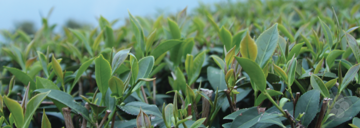 all categories of tea come from the same Camellia sinensis species.