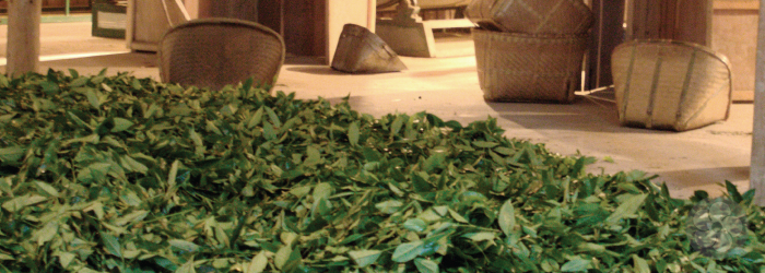 tea leaves wilt in large, comfortable-looking piles while awaiting the next processing step
