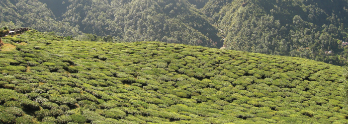 Darjeeling tea plantations at high elevations in the Himalayas