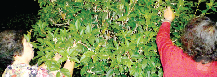 Indigenous tea plants grow into small trees without human intervention