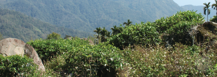 Unpruned tea bushes cultivated without herbicides are often called wild tea trees.