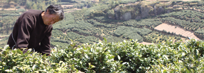 Longjing tea was developed and is still made around Xihu, or West Lake, in Zhejiang Province