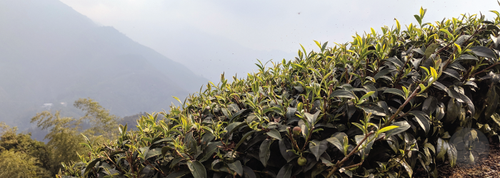 bright green buds cover the tops of these tea bushes in the spring