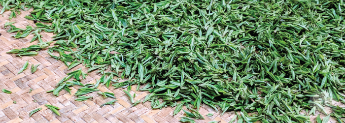 fresh spring green tea leaves are waiting to be roasted after harvesting
