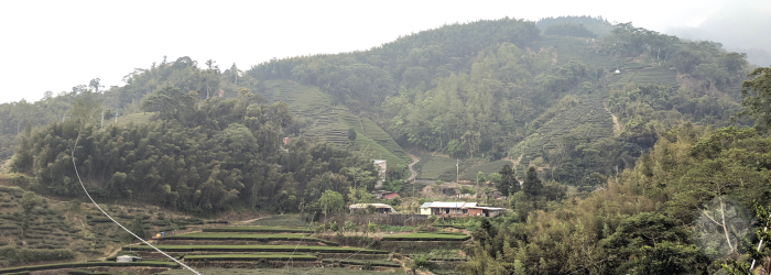 high elevation tea farms get mi xiang effects from aphid bites, instead of more famous leafhoppers.