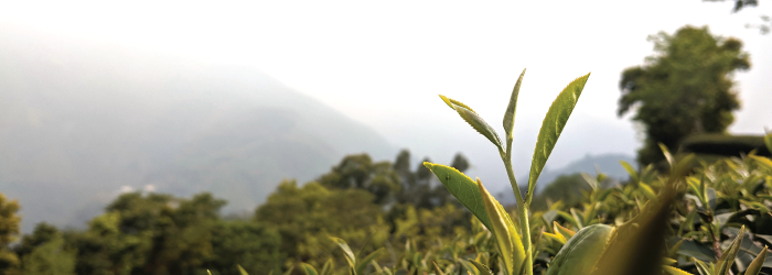 different tea cultivars have different leaf shapes and preferred growing environments