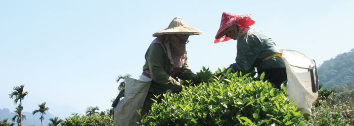 Expert tea pickers work to select new tea leaves from a naturally growing tea bush.