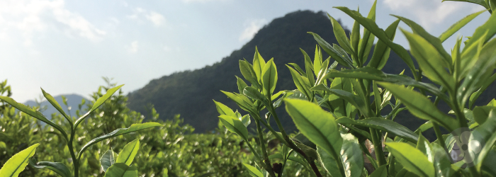 Tea starts out as a leafy green vegetable, plucked from shrubs and preserved until we cook it with hot water.