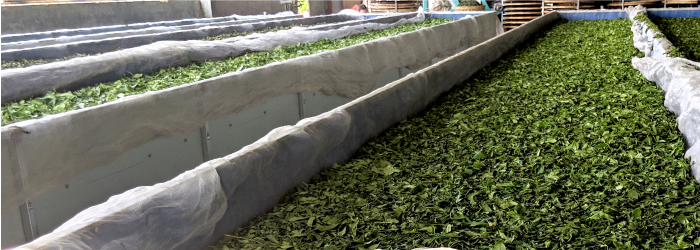 Technological solutions help white tea crafters make better teas with longer shelf life.