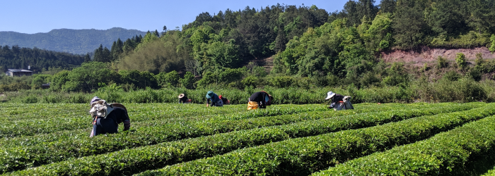 harvest date is only one of many factors to consider in estimating the quality of a green tea.