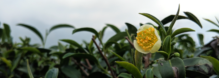 Tea plants produce seeds and flowers for natural growth, but most teas are grown from cuttings