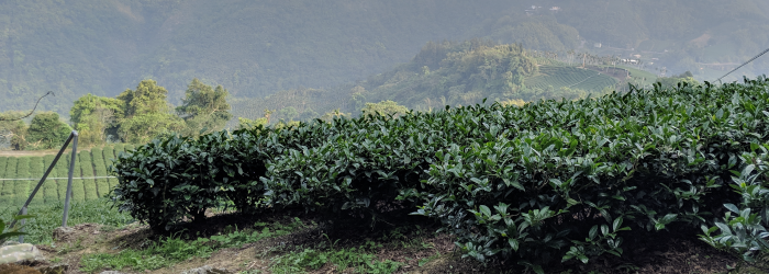 the location of a tea farm defines a host of environmental factors known collectively as terroir.