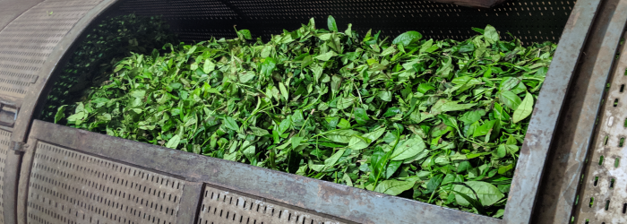 fresh leaves, ready to be roasted in a rotating drum. Sometimes leaves of different varieties are blended at this stage.