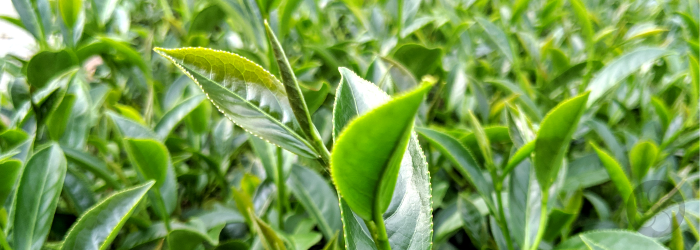 New growth of a tea plant clearly shows the distinction between closed buds, young leaves, and mature leaves.