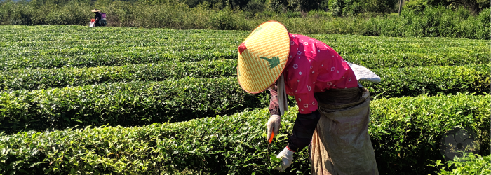 A skilled tea harvester works to select the perfect leaves to craft high quality green tea.
