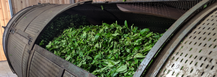 This batch of oolong tea is loaded into a large roasting drum after withering to begin the roasting process.