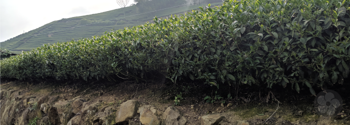 Tea bushes atop a rock wall, receding uphill
