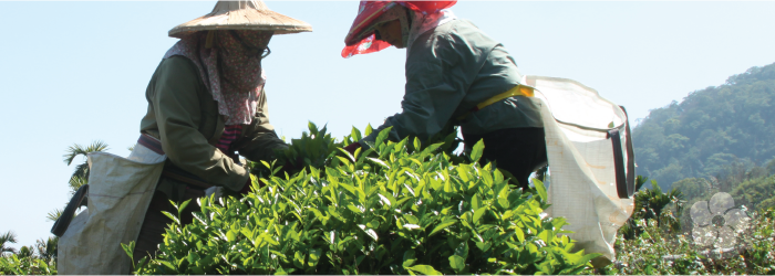 tea pickers select formosa oolong leaves
