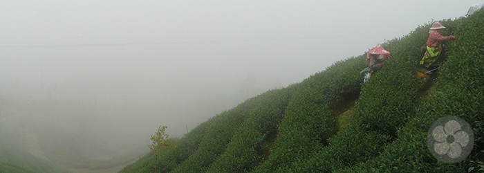 high elevation tea gardens are shrouded in mist