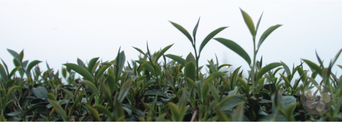 the picking standard for formosa oolongs includes the bud plus two to three mature leaves