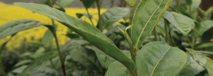 the youngest buds of the tea plant are used for the highest quality green teas
