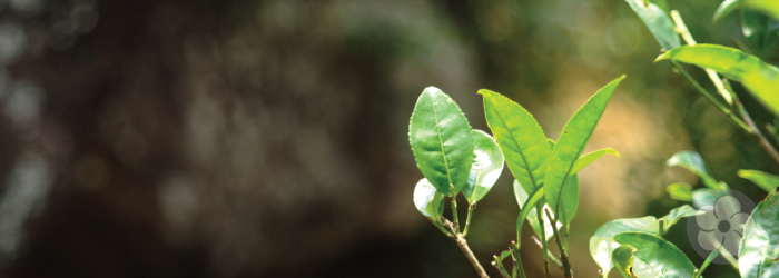 mature tea leaves grow on old tea trees