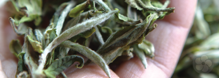 da bai leaf buds form the white tea base for premium jasmine teas