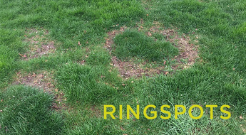 Trial run for treating Necrotic Ring Spot on a lawn.
