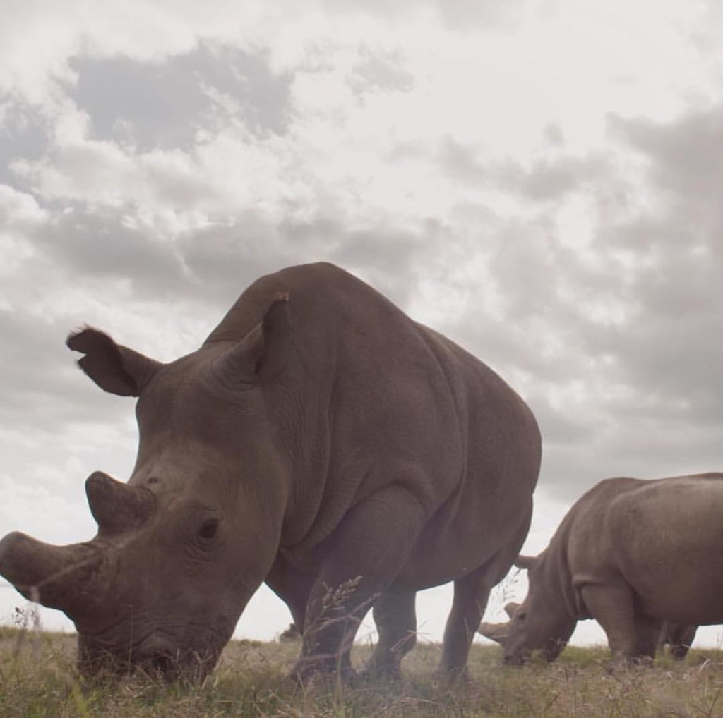 Did you know there are 5 different species of rhinos?