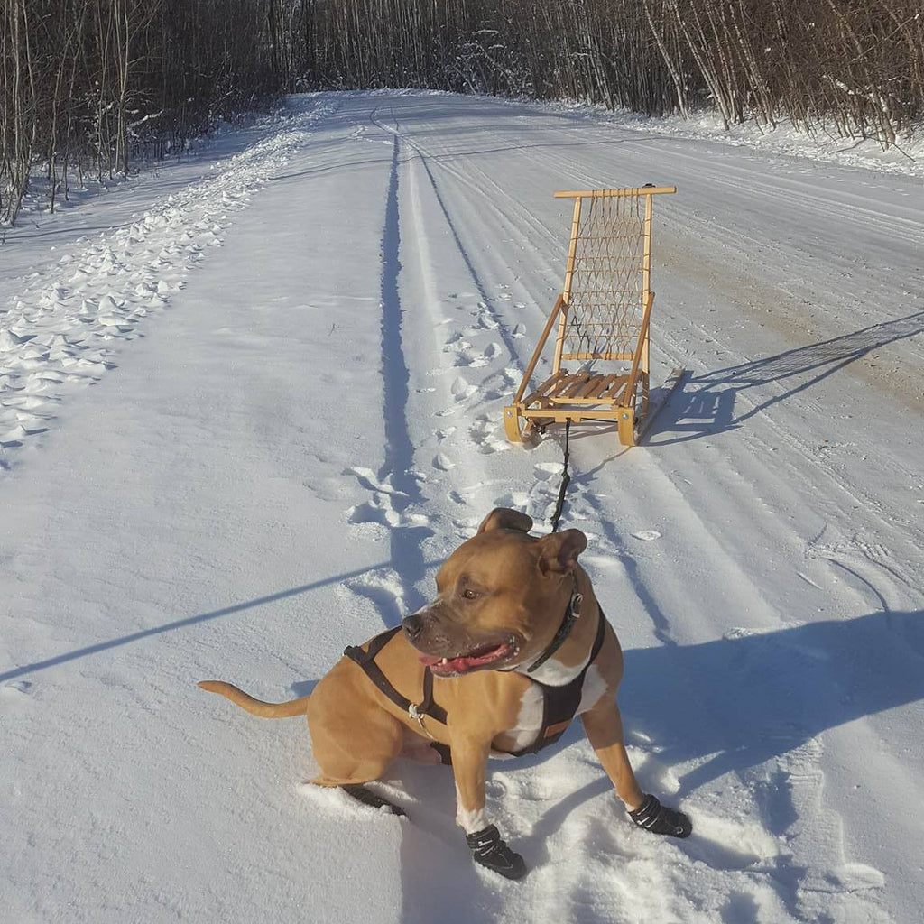 How To Training Your Dog To Pull For Kick Sledding Or Ski