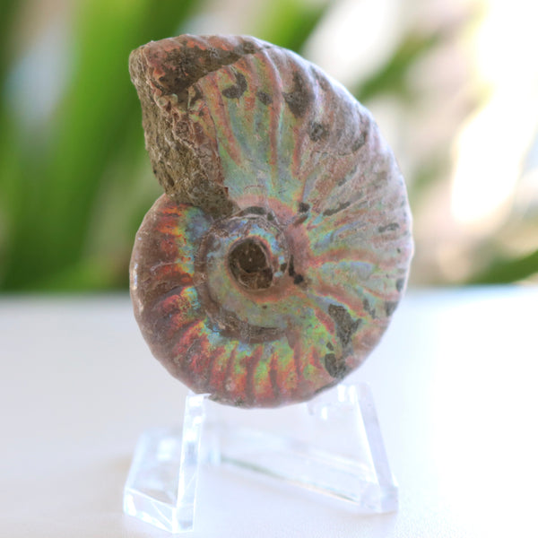 Opalized Ammonite Fossil - Madagascar